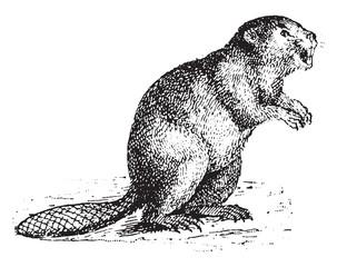 Beaver, vintage engraving.