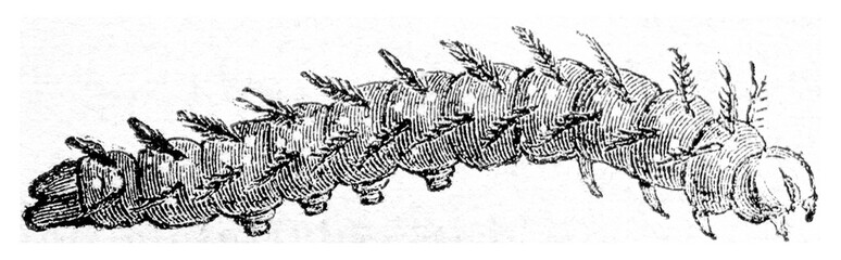 Caterpillar of Vanesse lo, vintage engraving.