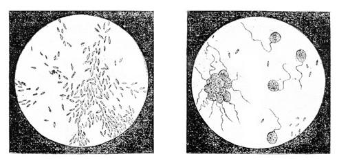 Fig 2. A bacterium (Bacterium termo), Fig 3. monads (Monas lens)