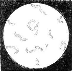 Spirilla (Spirillum volutans), magnified 350 times, vintage engr