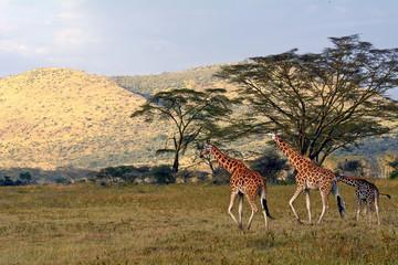 Rotschild giraffes, Lake Nakuru National Park, Kenya