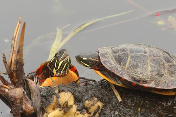 Painted Turtles (Chrysemys picta)