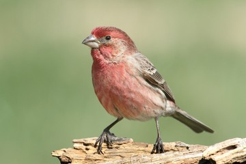 Fotoväggar - Male House Finch (Carpodacus mexicanus)