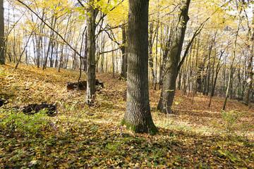 autumn forest , Belarus