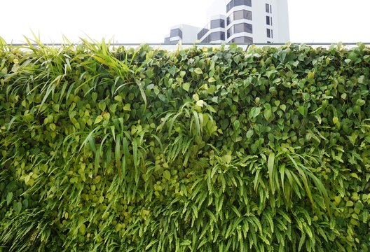 A living green planted wall (vertical garden) in front of buildings in Singapore