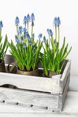 Blue muscari flowers (Grape hyacinth) in wooden box