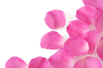 Beautiful pink rose petals isolated on white background