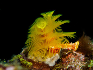 Yellow Christmas tree tube worm coral on reef