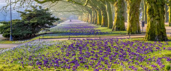 Spring flowering crocuses in the park