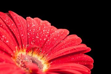 Foto op Aluminium Gerbera wet red gerbera flower closeup