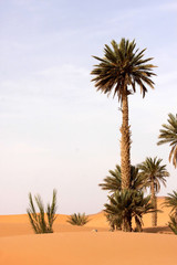 palm absorbs Saharan sand, Morocco