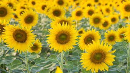 Full bloom sunflower field