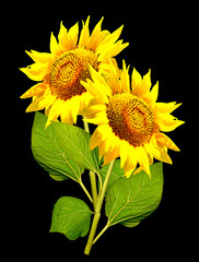 beautiful sunflower isolated on a black background