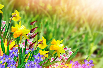 beautiful spring flowers daffodils. yellow flowers.