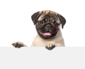 Pug puppy looking at camera from behind empty board. isolated on