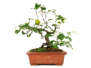 Bonsai - Quitte