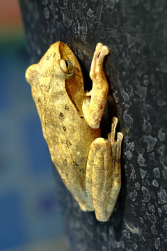 Golden Tree Frog or Yellow Frog  in Thailand - Close up - Macro