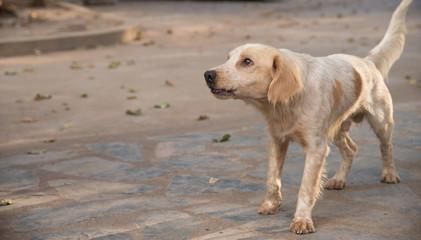 Dog breeder Thailand