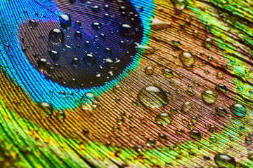 Peacock feather with drops of water