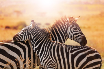 Close-up portrait of mother zebra with its foal Wall mural