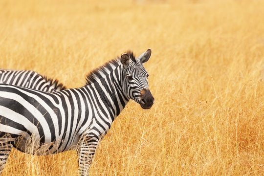 Close-up picture of zebra standing in dried grass