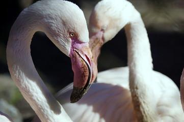biało-różowe flamingi