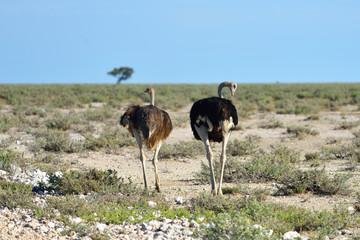 Ostrich in Etosha, Namibia