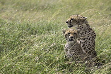 Wild cheetah with cub