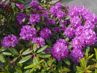 Rhododendrons purple / Rhododendrons purple. Close-up View of a Purple Rhododendrons