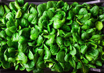 young baby spinach leaves in a box
