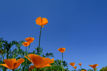 Single Orange Flower against dark Blue Sky