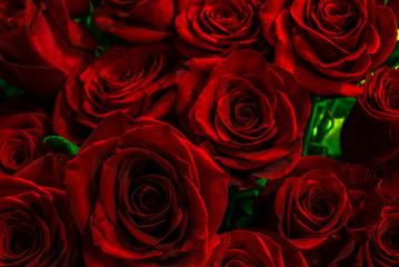 luxurious scarlet rose closeup.