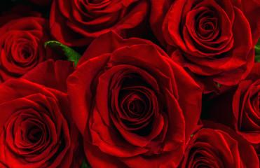scarlet roses closeup.