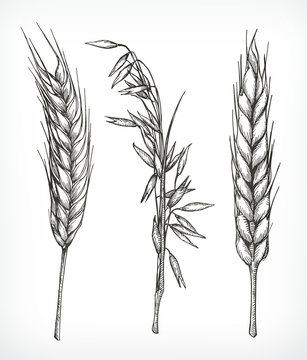 Crops, wheat and oat sketches, hand drawing, vector set