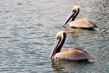 Brown Wild Pelican Bird San Diego Bay Animal Feathers