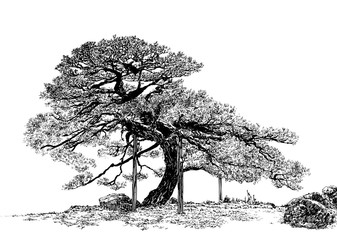 Old small tree A