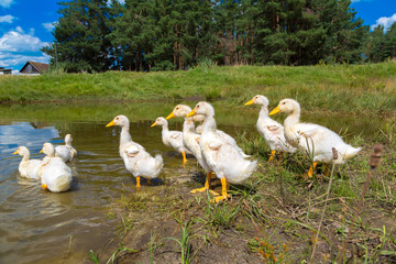 White ducklings