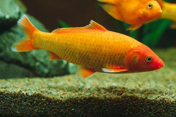 Aquarium fish -  goldfish Carassius auratus