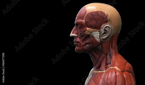 Human Anatomy Of The Head Muscle Anatomy Of The Face Neck And