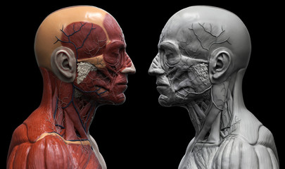 Head and torso anatomy , Human head and shoulder muscular anatomy in 3D render color view and black and white view