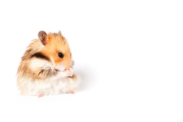 hamster sits and eats