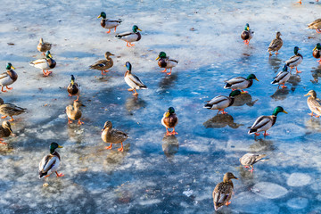 Wild ducks on the lake ice in the spring in city park
