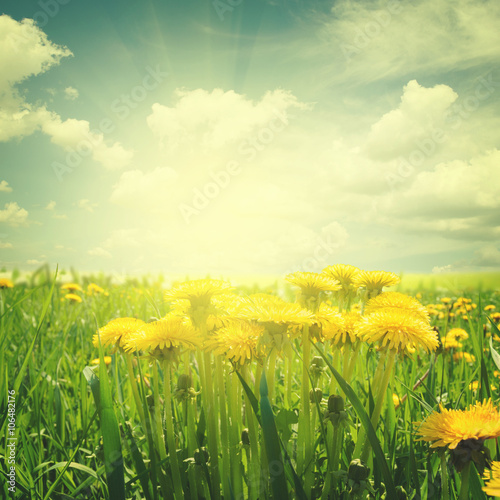dandelion field at summer