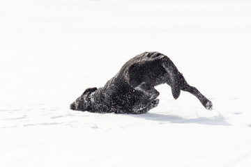 Black Labrador Retriever Rubbing Face Against Snow Real Good