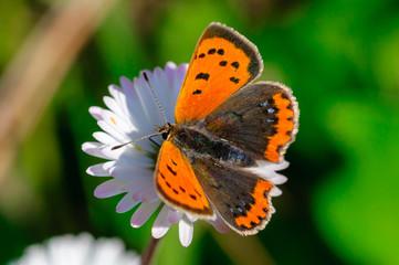 Farfalla Lycaena phlaeas