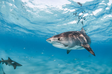 A tiger shark swimming in clear, shallow water with a visible hook and fishing line caught in their mouth.