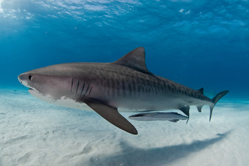 Fototapete - A tiger shark gliding gracefully past accompanied by a remora fish