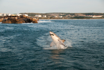 Fototapete - A great white shark breaching out of the water and biting down a seal cut out