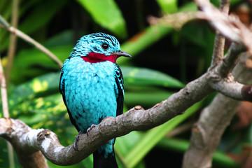 spangled cotinga blue bird Cotinga cayana