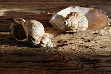 Altes Treibholz / Holz mit Meeresschnecke Gastropoda und Muschel, Hintergrund, Textur